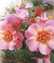 ◆即納 【バラ苗】 フォーユアアイズオンリー (Sh複輪) 国産苗 中苗 6号鉢植え品 ○ 【シュラブ】 《ZEN》 ●○●
