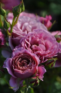 ガーデナーローズ 四季咲き