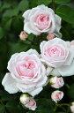●予約新苗● シンデレラ (Cl桃色) 国産苗 新苗 ● 【つるバラ.ツルバラ.つるばら】 【バラ苗】※5月末までにお届け…