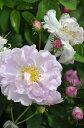 ◆即納 【バラ苗】 アメリア (A複桃) 国産苗 中苗 6号鉢植え品 ● 【オールドローズ.アルバローズ】《NOC-15》