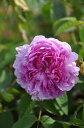 ◆即納【 バラ苗 】ロサケンティフォリア (SP桃) 国産苗 中苗 6号鉢植え品 ○《J-OC20》
