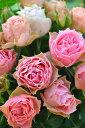 ロマンティックレース アンティーク 四季咲き フロリバンダ