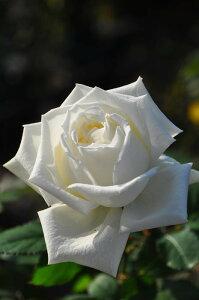 ヨハネパウロ 四季咲き ハイブリッド