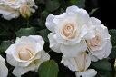 フレンチ 四季咲き フロリバンダ