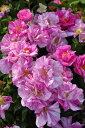 ◆即納【 バラ苗 】ロサムンディ (G絞桃) 国産苗 中苗 6号鉢植え品 ●《NOC-15》