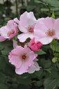 デンティベス 四季咲き ハイブリッド