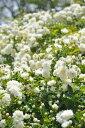 ●即納 【バラ苗】 もっこうばら白色八重 【白モッコウバラ 八重】 (Sp白) 挿し木 国産苗 新苗