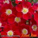 【つぼみ付き】◆即納 【バラ苗】 キャンディアメイディランド (Sh赤) 国産苗 中苗 6号鉢植え品