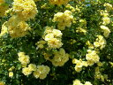 ◆即納 【バラ苗】 もっこうばら黄色八重 【黄モッコウバラ 八重】 (Sp黄) 挿し木 国産苗 中苗
