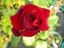 ◆即納【バラ苗】サムライ66 (HT赤色) 国産苗 中苗 6号鉢植え品 ○《J-HT20》
