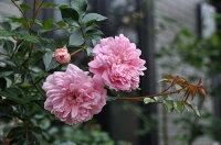 ◇【バラ苗】 フランソワージュランビル (R桃色) 国産苗 新苗 6号鉢植え品 ● 【オールドローズ.ランブラローズ】