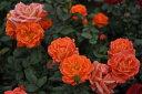 ◎即納 【バラ苗】 アンバーメイアンディナ (Min橙色) 国産苗 新苗 6号鉢植え品 ● 【ミニバラ】《IRM》