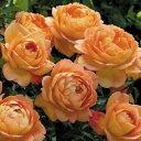 予約 【バラ苗】 レディーオブシャーロット (09ER橙) 輸入苗 大苗 6号鉢植え品 □ 【イングリッシュローズ】※3月末までにお届けの予約大苗 《ER》