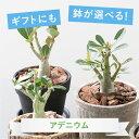 【選べる鉢】【観葉植物】アデニウム 鉢植えセット【植木鉢 おしゃれ 鉢 インテリア ミニ観葉 陶器鉢 ギフト】