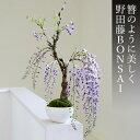 ふじ 盆栽(ミニ盆栽 bonsai ボンサイ) 翠松園 撰【母の日のお届けは開花
