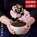 (桜盆栽)旭山桜 盆栽(送料無料)(桜 盆栽 bonsai ...