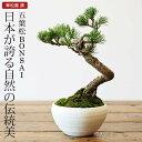 五葉松 盆栽(ミニ盆栽 bonsai ボンサイ) 翠松園 撰【包装不可・のし不可 ご了承ください。】( 敬老 敬老の日 )【楽ギフ_