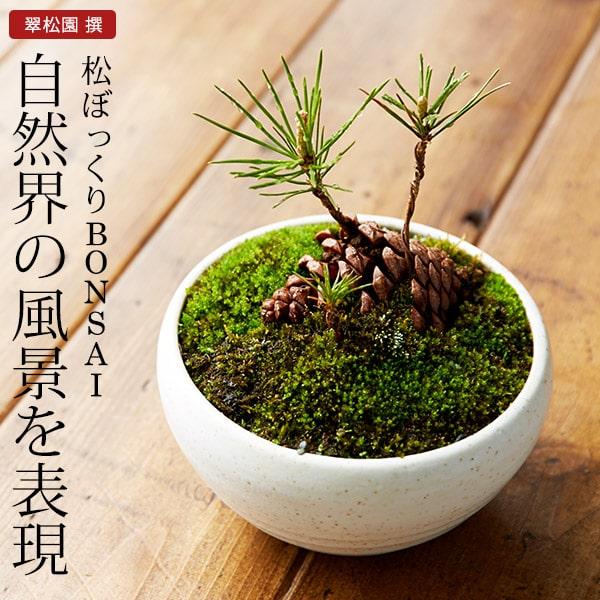 まつぼっくり 盆栽(ミニ盆栽 bonsai ボンサイ) 翠松園 撰【包装不可・のし不可 ご…...:bellevie-harima:10100778
