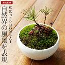 まつぼっくり 盆栽(ミニ盆栽 bonsai ボンサイ) 翠松園 撰【包装不可・のし不可 ご了承ください。】/ギフト お祝い 内祝い お礼 お返し 誕生日 快気祝い【楽ギフ_