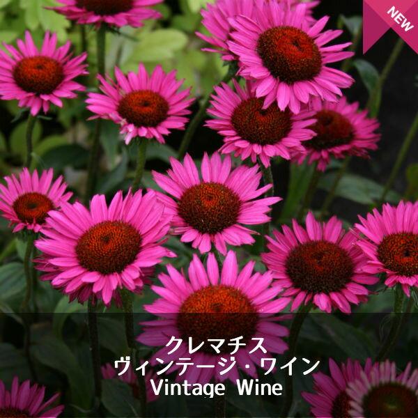 宿根草エキナセアヴィンテージワインEchinaceaVintageWine(R)1セット2ポット花苗
