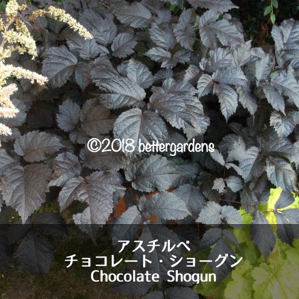 宿根草アスチルベチョコレートショーグンAstilbeChocolateShogun(R)1セット2ポ