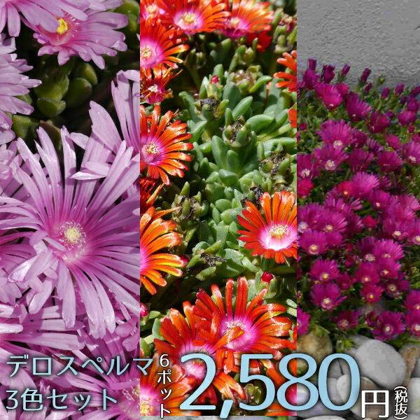 宿根草デロスペルマ3色セット(レッド・ネオン・ラベンダー)Aグループ多年草多肉植物珍しい花苗寄せ植え