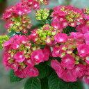 【アジサイ】アムールトゥジュール【Aグループ】amour toujours 紫陽花 7号鉢 珍しい 新品種 希少 苗 アジサイ 21cmポット苗 庭 ガーデン ガーデニング 庭植え 鉢植え ギフト 植物 花