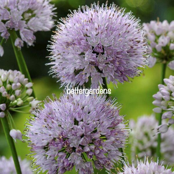 宿根草アリウムサマービューティーAlliumSummerBeauty(R)Aグループ多年草珍しい花苗