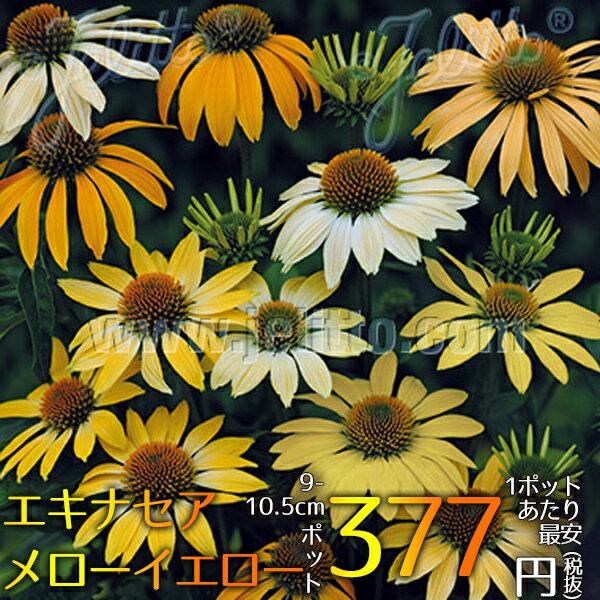 宿根草エキナセアメローイエロー(R)Aグループ花苗多年草新品種ガーデニング苗物園芸季節花壇シェードガ