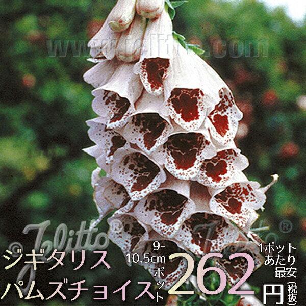 宿根草ジギタリスパムズチョイス(R)Aグループ花苗多年草新品種ガーデニング苗物園芸季節花壇シェードガ