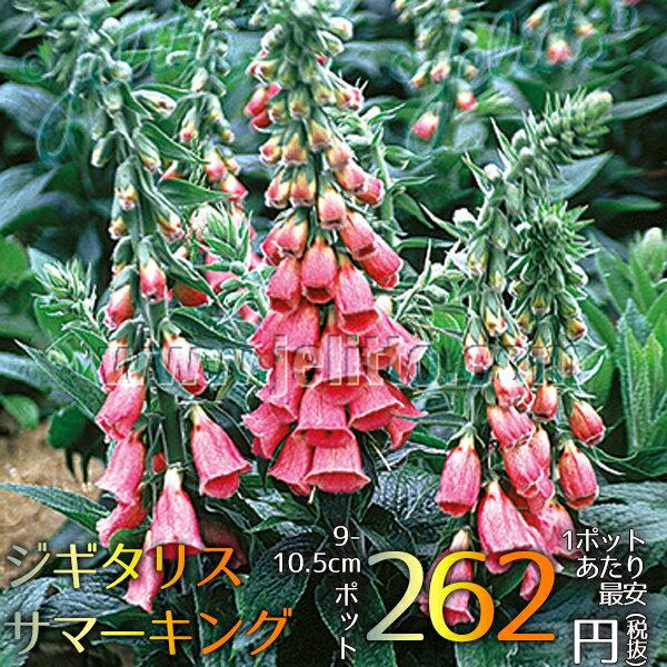 宿根草ジギタリスサマーキング(R)Aグループ花苗多年草新品種ガーデニング苗物園芸季節花壇シェードガー