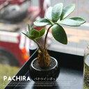 パキラインポット(PACHIRA IN POT) 光触媒 イミテーショングリーン