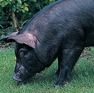 豚の画像 p1_14