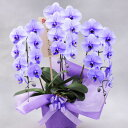 珍しい 紫の胡蝶蘭3本立(パープル)【全国送料無料】