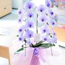 胡蝶蘭2本立(紫) ※全国送料無料