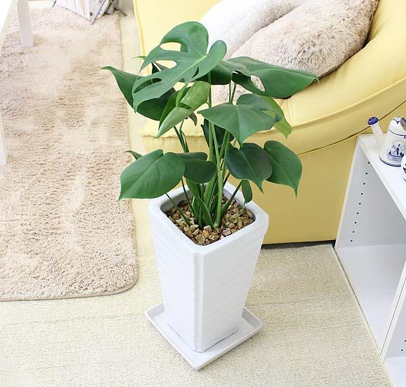 【送料無料】モンステラ 7号 ホワイト陶器鉢 Gタイプ|中型サイズの観葉植物