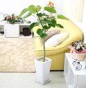 【送料無料】幸せが訪れる末広がり¥8888(税抜き) ウンベラータ 7号+ホワイトスクエア陶器鉢 Gタイプ