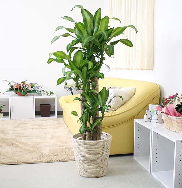 幸福の木(朴タイプ) 8号鉢+ホワイトバスケット鉢カバー 育てやすく新築祝や引越祝・開店祝などのギフトに人気!