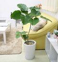 【送料無料】幸せが訪れる末広がり ウンベラータ¥8888(税込み) ホワイト陶器鉢「丸形」