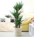 新芽が次々とふいてくることから、「青年の木」と別名を持つユッカ!ユッカ(青年の木) 8号鉢+ホワイトバスケット鉢カバー