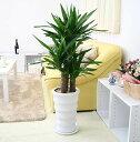 贈り物としても最適で寒さにも強く育てやすい観葉植物スタイリッシュ♪ユッカ(青年の木) 8号 ホワイトロング陶器 丸鉢