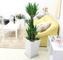 【送料無料】贈り物としても最適で寒さにも強く育てやすい観葉植物