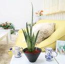 美濃焼き鉢植物 「まるで宝石のような色合い!珍しいサンスベリア・センセーション」」+水位計付き(鉢色:ホワイト)