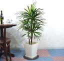 シュロ竹(シュロチク) 8号 スクエアタイプG(プラスチック鉢)
