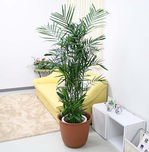 【送料無料】セフリジー 10号+プラスチック鉢カバー(高さ 約1.5~1.8m) 洋と和の両方がどちらもステキに楽しめる観葉植物♪