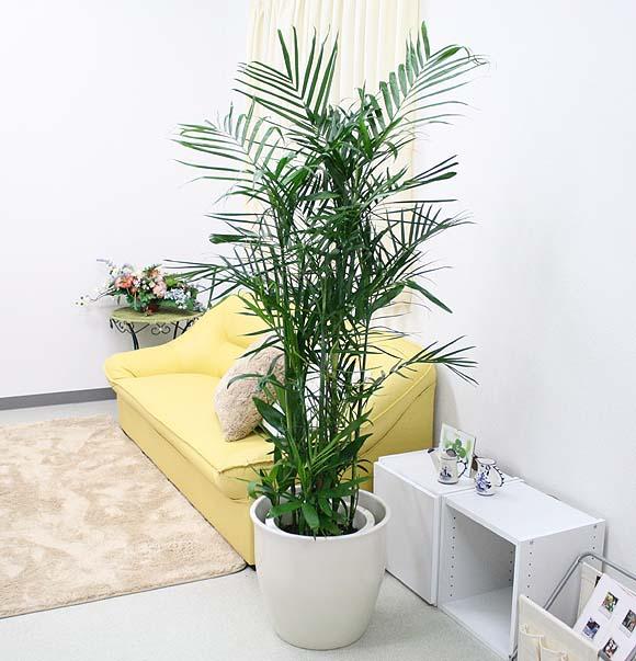 セフリジー 10号 単品 (受皿付き・鉢カバーなし) 茎には節があり、竹のような雰囲気も楽しめます♪