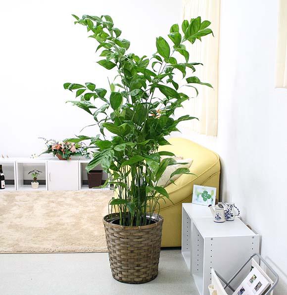 チャメドレア 10号+バスケット鉢カバー ギリシア語で、小さい贈り物という意味の素敵な観葉植物です♪