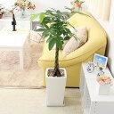 【今なら送料無料】スタイリッシュ!人気のパキラ 8号+スクエアホワイトロング陶器鉢「ストレート」