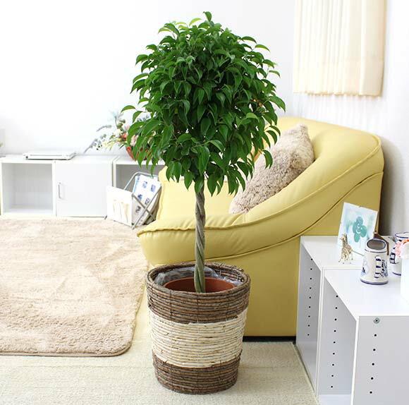 ベンジャミン トピアリー 8号鉢+ストライプバスケット鉢カバー インテリアとしてもとっても素敵な観葉植物です♪