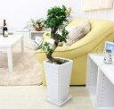 多幸の木 ガジュマル 盆栽風 7号 ホワイト陶器鉢 Gタイプ